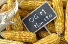 Le Gouvernement maintient son opposition à la culture du maïs transgénique